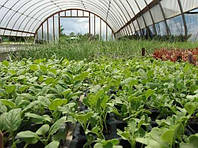 Хороший урожай редиса в неотапливаемой теплице
