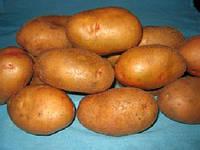 "Посадка, прополка, окучивание картофеля легкими (25 -32 кг)  мотокультиваторами «Евро» (""La Zappa"")"