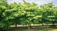 Эводия Даниэля, Тетрадиум Даниэля (медовое дерево), семена 1 грамм, фото 1