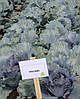Семена капусты Рексома (Rexoma RZ) F1, 2500 семян (калиброванные)