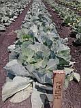 Семена капусты Рексома (Rexoma RZ) F1, 2500 семян (калиброванные), фото 3
