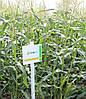 Семена сладкой (сахарной) кукурузы Спирит F1, 100 тыс. семян