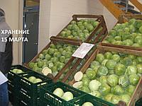 Семена капусты Сторема (Storema RZ) F1 130-140 дн., 2500 семян, фото 1