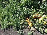Семена томата КАСТА ( СУПЕРНОВА ) F1, 1000 семян New!, фото 5