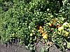 Семена томата  КАСТА ( СУПЕРНОВА ) F1, 5000 семян New!