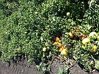 Семена томата  КАСТА ( СУПЕРНОВА ) F1, 5000 семян New!, фото 1