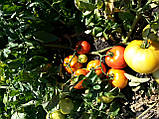 Семена томата  КАСТА ( СУПЕРНОВА ) F1, 5000 семян New!, фото 5