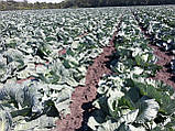Семена капусты Транзам F1 / Transam F1, 2500 семян, фото 3