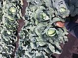 Семена капусты Транзам F1 / Transam F1, 2500 семян, фото 4