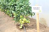 Семена томата Эсмира (Esmira RZ) F1 розовый, 1000 семян, фото 2