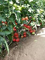 Семена томата Эсмира (Esmira RZ) F1 розовый, 1000 семян