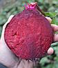 Семена свеклы Акела (Akela RZ) 100 тыс.семян