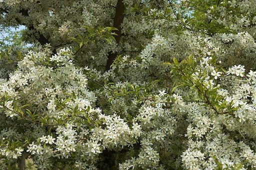 Яблоня дуболистая Зибольда 140-160 см