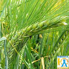 Семена озимого ячменя Паладин Мироновский (элита)
