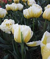 Тюльпан Flaming Evita (Флемин Эвита) махровый поздний луковицы 10/11 оптом 30 шт./уп., фото 1