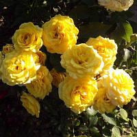 Троянда мініатюрна Голден Бебі