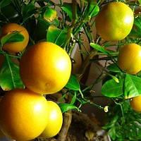 Апельсин Аджарский - ранний, самоплодный, сладкий
