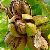 Саженцы ореха пекана Cape Fear - самоплодный, зимостойкий, неприхотливый