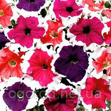 Семена петунии поштучно 10 шт, белые юбки Frost Mix