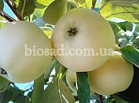 Яблуня Білий Налив, фото 1