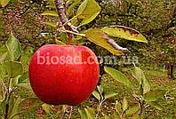 Яблуня Джонаголд (Jonagold), фото 1