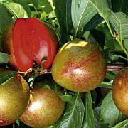 Плуот Флавор Супреме (слива-абрикос)