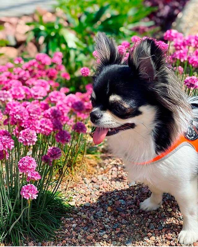 Шлея Tre Ponti Work in Progress оранжевый - фото шлеи на собаке