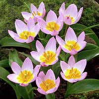 Тюльпан Lilac Wonder 5/+ ботанический 5шт