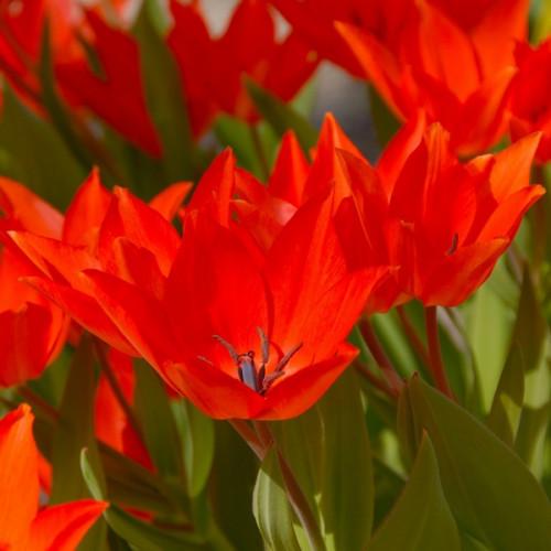 Тюльпан Linifolia 5/+ ботанічний 5шт