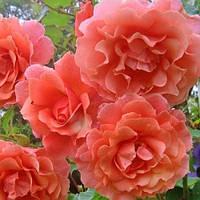 Роза плетистая Розовый жемчуг (Pink Pearls)