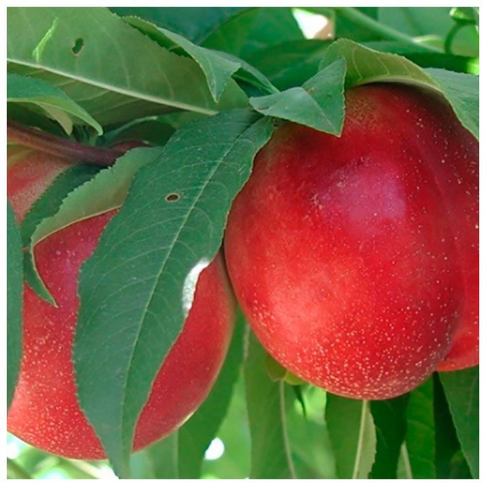Колоновидный гибрид слива-персик Сливовый нектарин (среднего срока созревания)