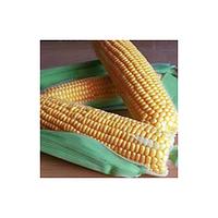 Семена кукурузы GSS 1453 F1 100 000 сем. Сингента (Syngenta)