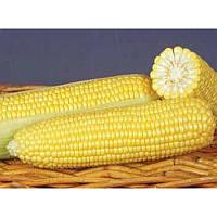 Семена кукурузы GSS 8529 F1 100 000 сем. Сингента (Syngenta)