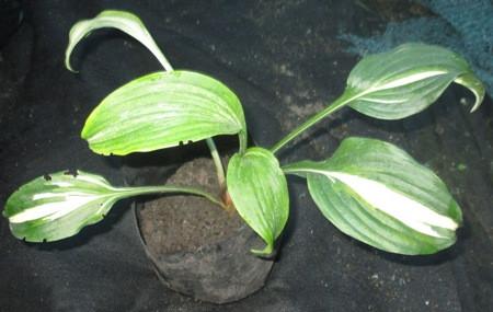 Хоста волнистая Медиовариегата (Hosta undulata 'Mediovariegata'). Саженцы в контейнерах Д12.
