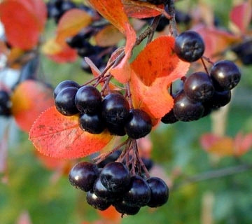 Арония черноплодная Grandifolia на штамбе 130-160 см