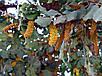 Рожковое дерево семена, фото 5
