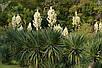 Юкка алоэвидная семена, фото 3