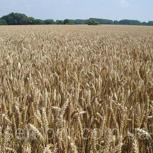 Насіння пшениці озимої Лінус