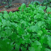 Семена кориандра (кинзы) Американо 300 гр, Италл Флора