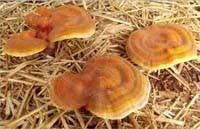 Ганодерма Ganoderma lucidum.Рассасывание опухолей, органов дыхания, восстановление организма, укрепление иммун