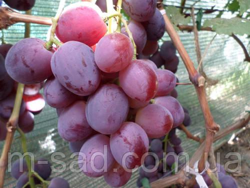 Виноград  Эверест- НОВИНКА