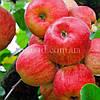Яблуня Ембассі (Ambassy)