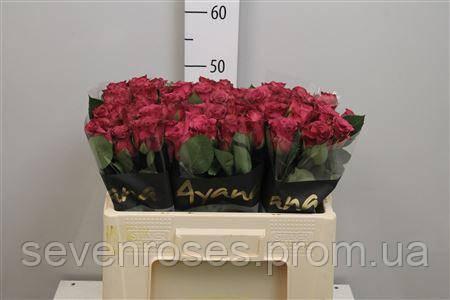Роза Ascot 50см