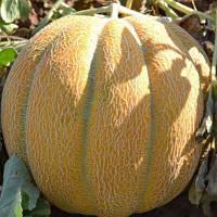 Семена дыни Эфиопка на вес