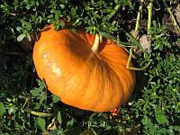 Семена тыквы Руж Виф Д'Этамп 0,5 кг Tezier