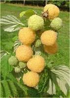 """Особенности желтой малины """"Поранна Роса"""""""