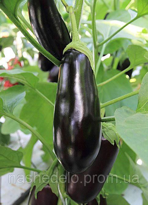 Семена баклажана Фарама  F1  5 гр