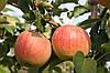 Яблуня Аріва (Ariwa)