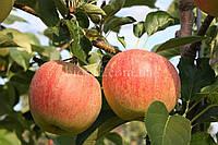 Яблуня Аріва (Ariwa), фото 1
