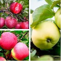 Саженцы яблоня Дерево сад  2-х летка